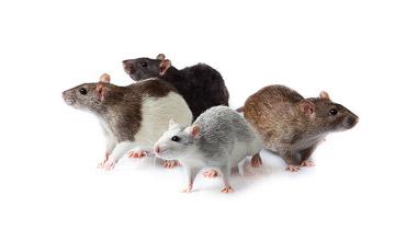 Roedores y pequeños mamíferos - guía de plagas