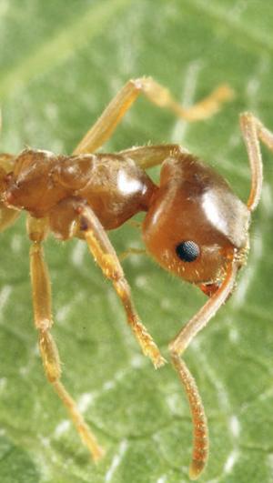 Elimina a la hormiga de jardín eficazmente con EZSA.