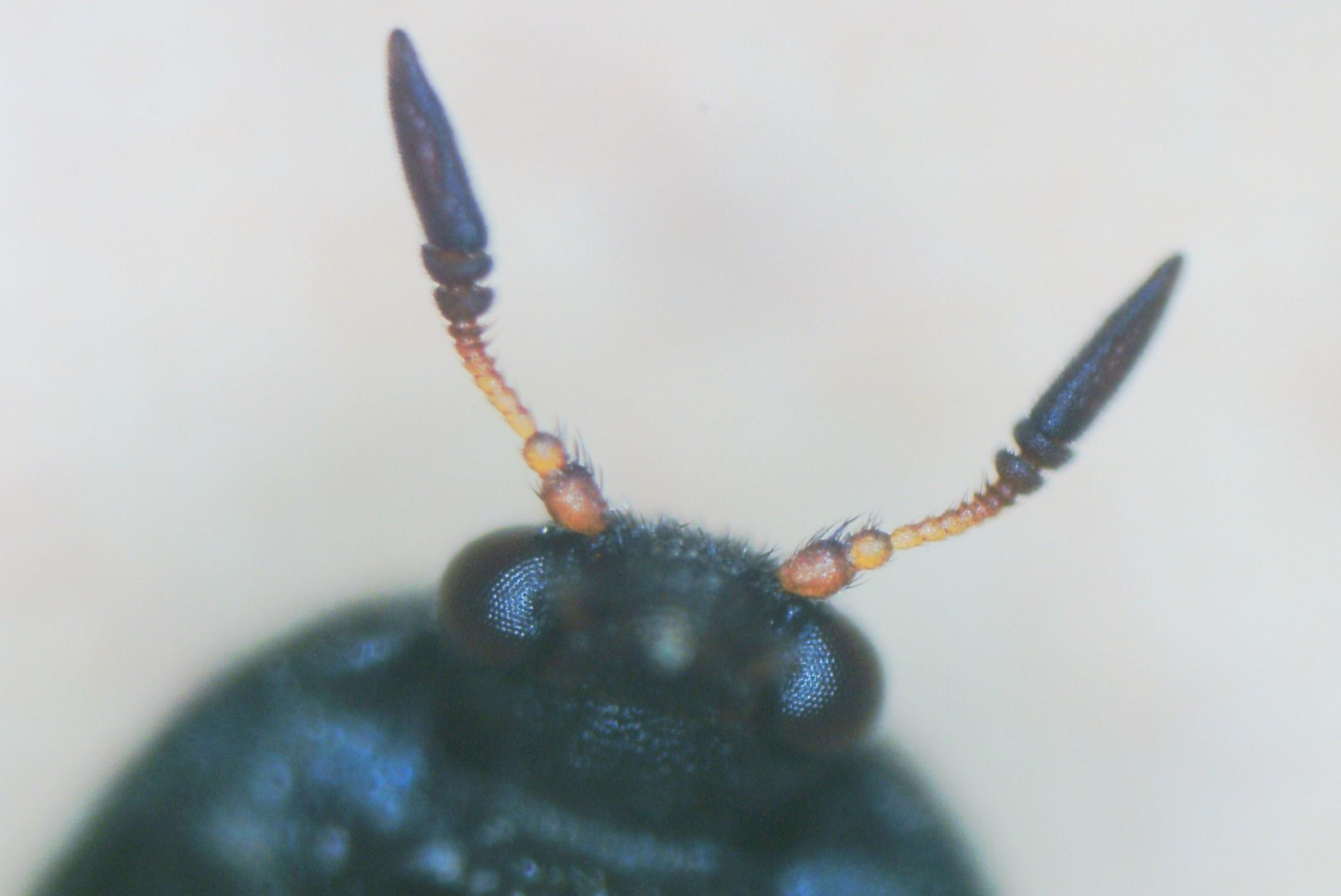 escarabajos Attagenus unicolor