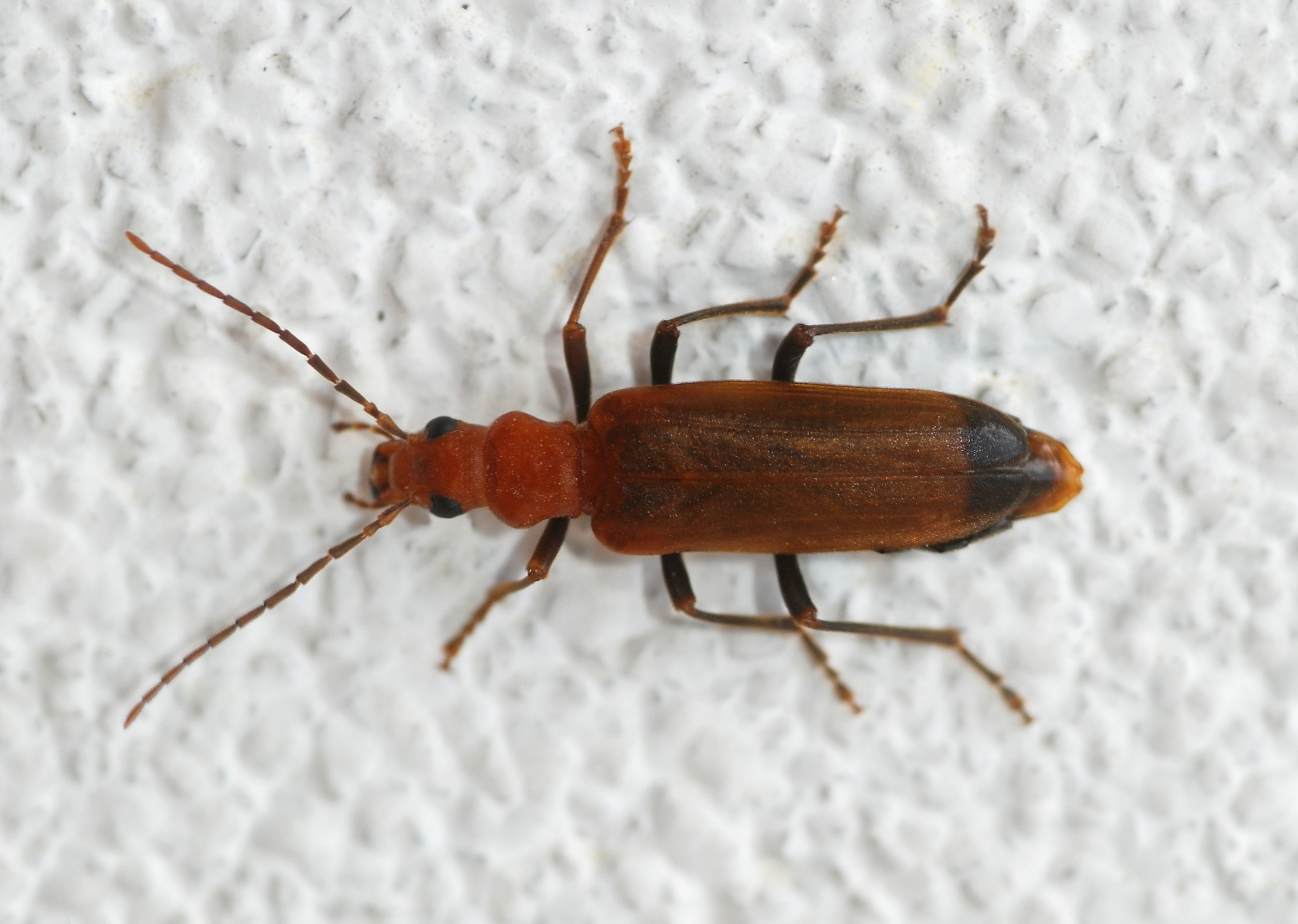 Escarabajos barrenadores de la madera