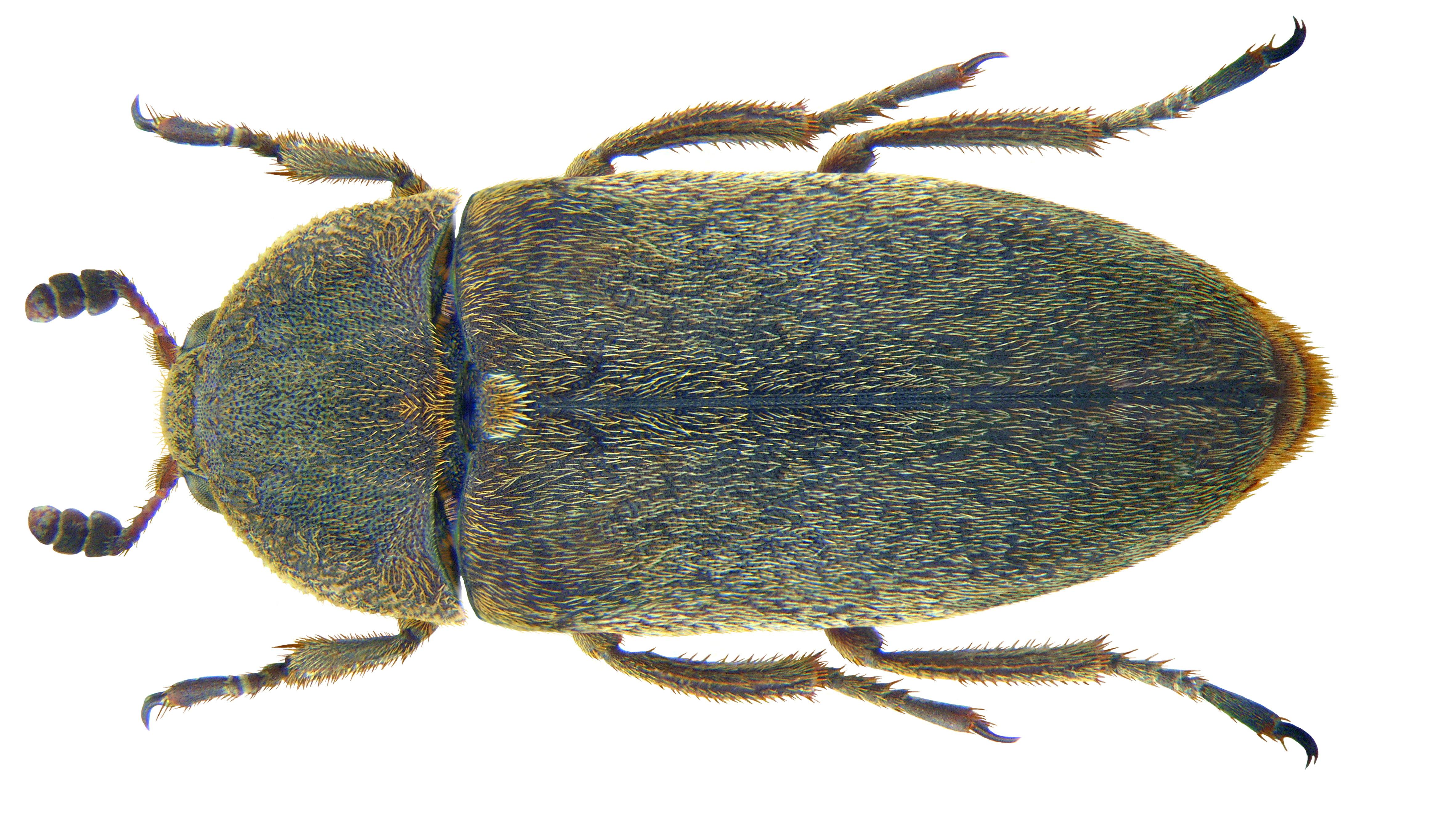 escarabajos Dermestes maculatus