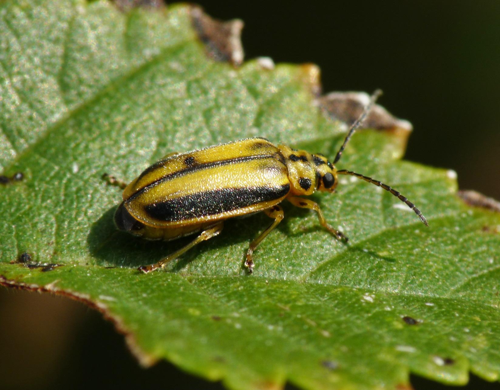 Conoce y acaba con el escarabajo de la hoja del olmo con EZSA