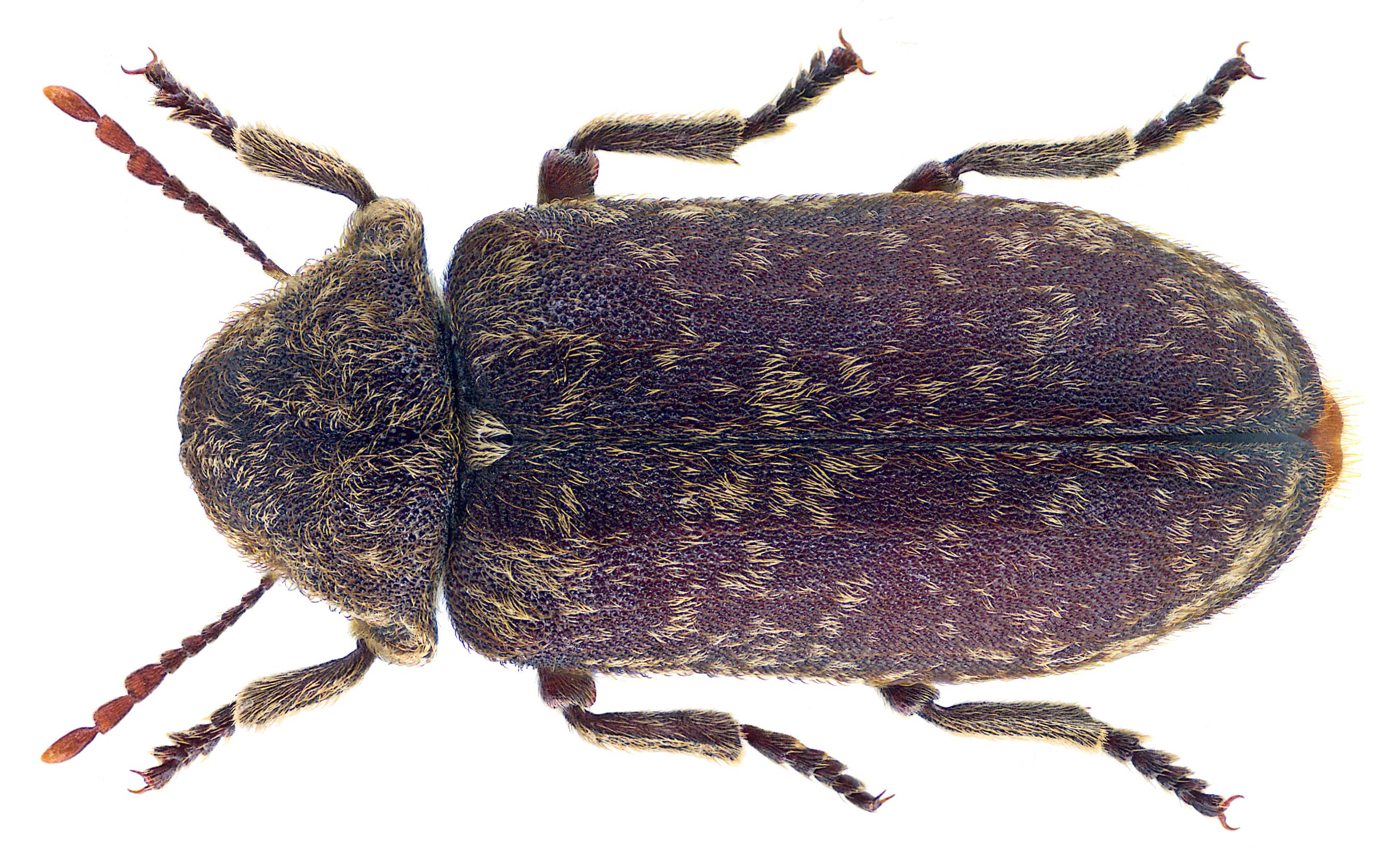 Escarabajo de la muerte
