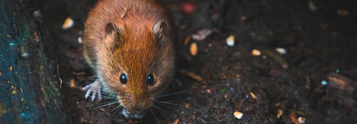¿Por qué aparecen las ratas y ratones?