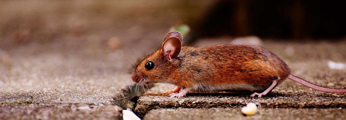 Los roedores y el cableado eléctrico