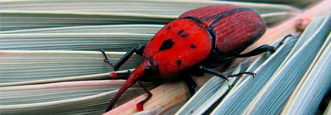El nuevo enemigo de la palmera: el picudo rojo