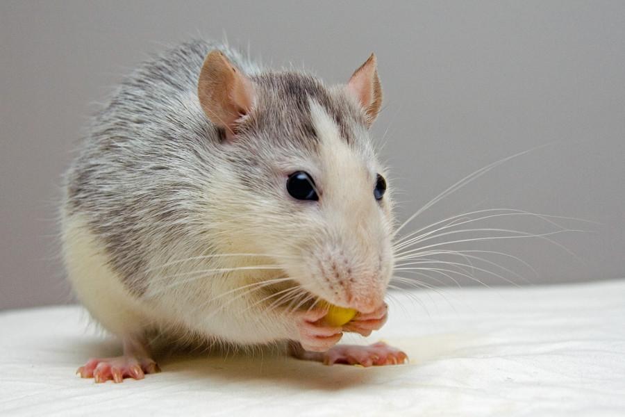 Ratas más agresivas y caníbales tras el confinamiento