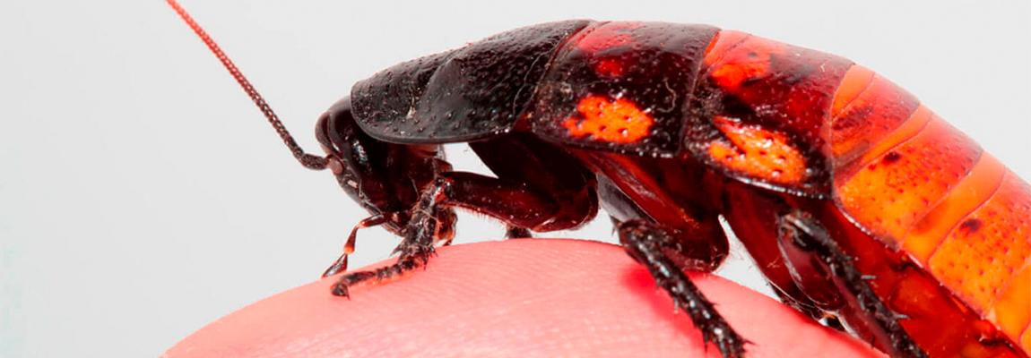 Las cucarachas: resistentes y prehistóricas