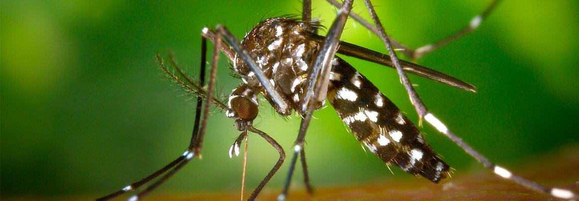 Especialistas advierten preocupante expansión del mosquito tigre