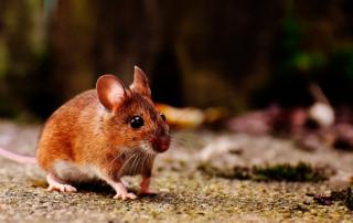 Se incrementa la presencia de ratas tras el confinamiento